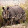 Asian One-horned Rhinoceros - Rhinoceros unicornis - Chitwan National Park