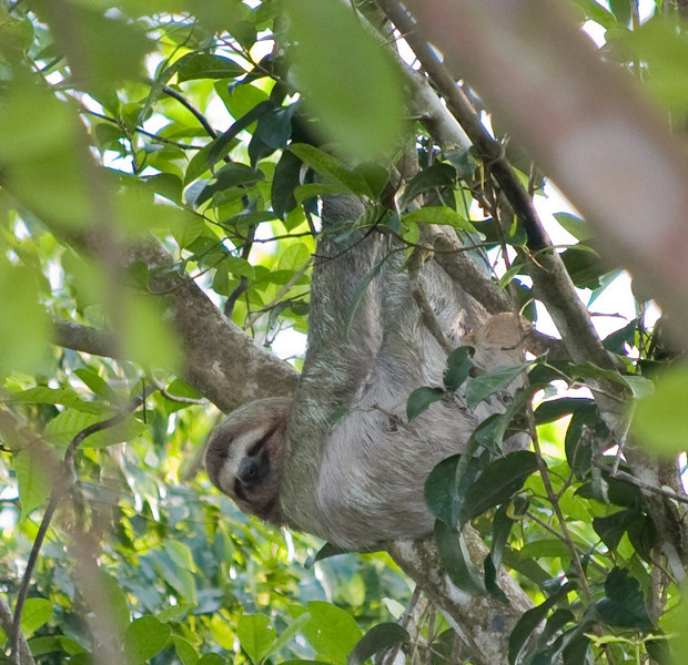 Sloth - hanging out