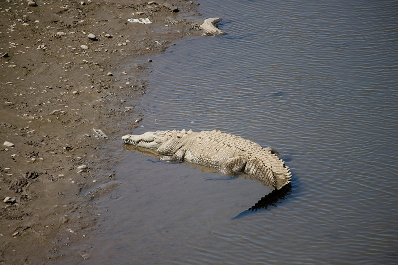 American Crocodiles (Crocodylus acutus) in the Rio Tarcoles
