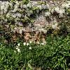 White Wisteria, Cottesbrooke Hall, Northamptonshire