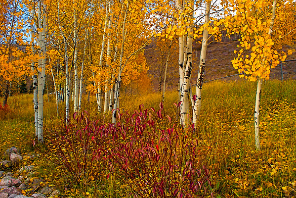Aspens in Fall, Vail, CO (CP-134-2011-10-17)