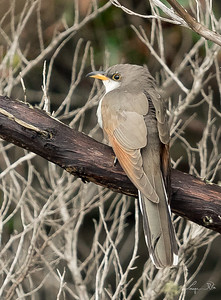 Coulicou à bec jaune, Yellow-billed cuckoo. Avon, North Carolina.
