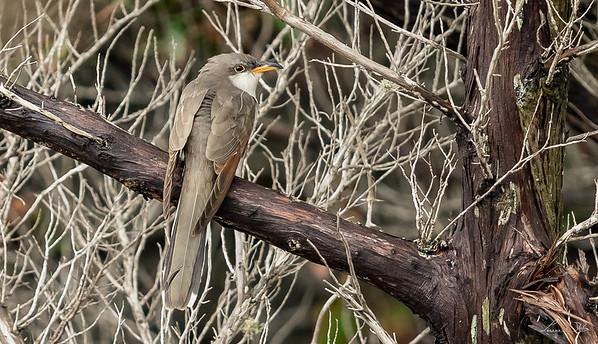 Coulicou à bec jaune, yellow-billed Cuckoo. Avon , North Carolina.
