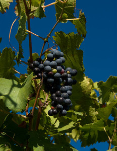 Nebbiolo grapes in vineyard near Barolo.