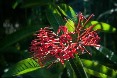 Flower Anguilla