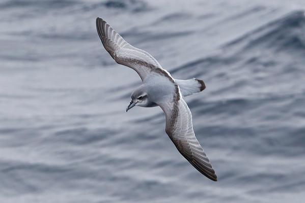 Antarctic Prion