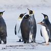 King & Gentoo Penguins