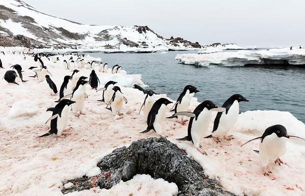 Adelie & Chinstrap Penguins