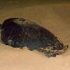 Turtle lays eggs, Ascension Island.