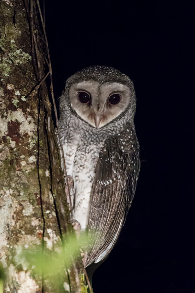 Lesser Sooty-owl