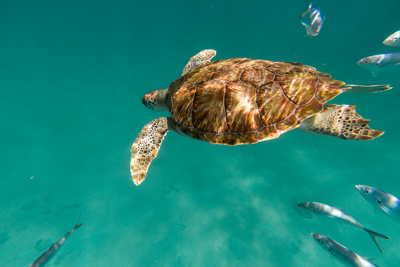 A hawksbill sea turtle (Eretmochelys imbricata) glides above the sea floor off the coast of Barbados