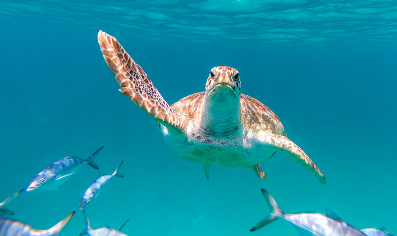 A hawksbill sea turtle (Eretmochelys imbricata) swims directly at the viewer off the coast of Barbados