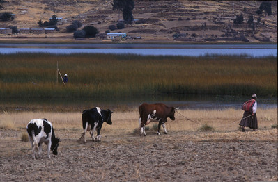 Woman and her cattle near Lake Titicaca, Bolivia.
