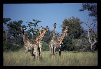 Giraffes, Okavango delta region of Botswana.
