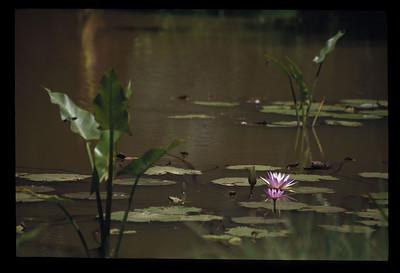Flowers, leaves and water, Okavango delta region of Botswana.