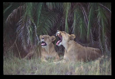 Yawning is contagious among female lions, too. Okavango delta region of Botswana.