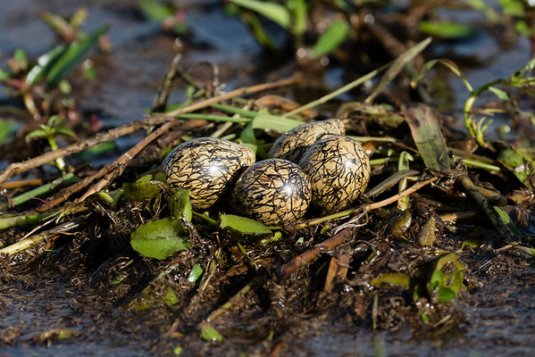 African Jacana nest and eggs