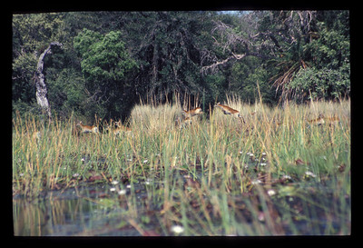Leaping deer, Okavango delta region of Botswana.