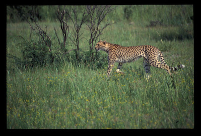 Cheetah, Okavango delta region of Botswana.