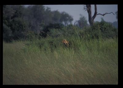 Lion in the grass, Okavango delta region of Botswana.