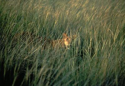 Lioness, Okavango delta region of Botswana.