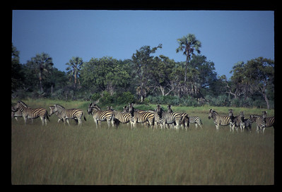 Zebras, Okavango delta region of Botswana.