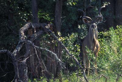 Kudu, Okavango delta region of Botswana.