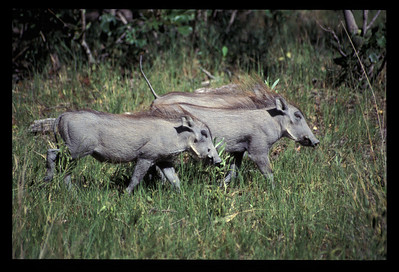 Warthog family, Okavango delta region of Botswana.