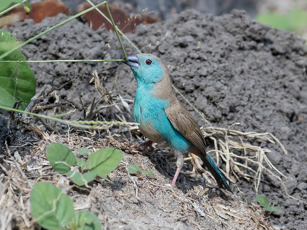 Blue-breasted Cordon-bleu