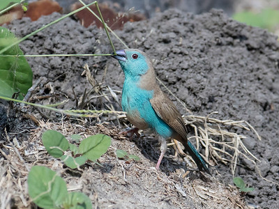 Blue-breasted Cordon-bleu
