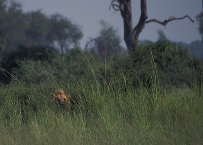 Lion in the grass, Okavango delta region of Botswana.
