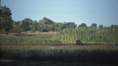 Hippo drinks, Okavango delta region of Botswana.