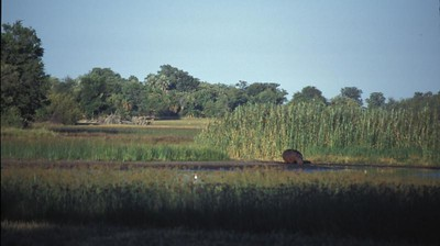 Hippo drinks, Okavango delta region of Botswana.
