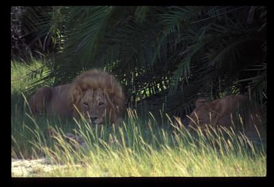 Lions, Okavango delta region of Botswana.