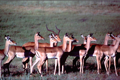A buck and his harem, Okavango delta region of Botswana.