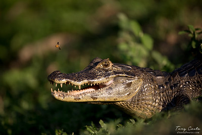 Caiman and Bee