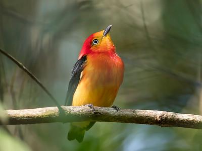 Band-tailed Manakin