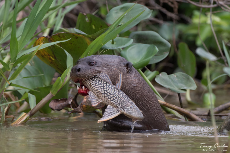 Giant River Otter eating a Loricariidae