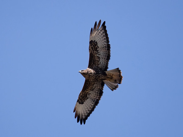 Common Buzzard (Eurasian Buzzard)