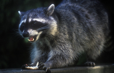 Raccoon eats his crust, Stanley Park, Vancouver, Canada.