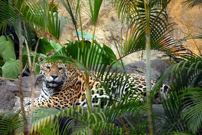 Leopard, Hong Kong, China zoo.