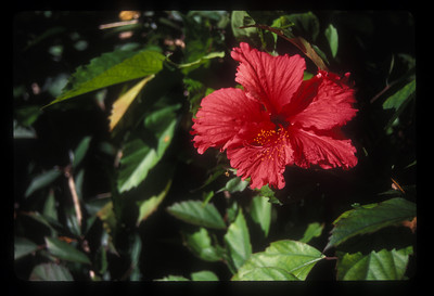 Tropical flower, Rarotonga, Cook Islands.