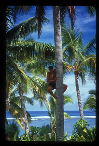 Climbing tree for coconuts, Rarotonga, Cook Islands.