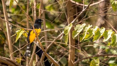 Oiseau - Trogon à tête noire _MG_4714