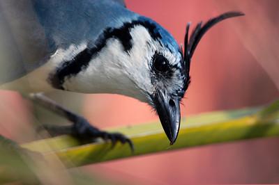 Close up of tropical bird, Costa Rica.