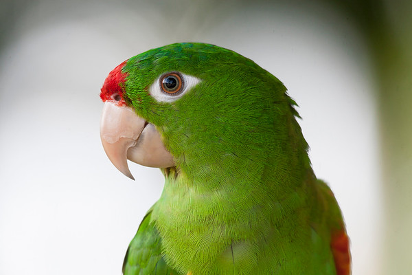 Crimson-fronted Parakeet (captive)