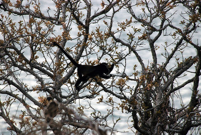 Monkey in a tree, Costa Rica.