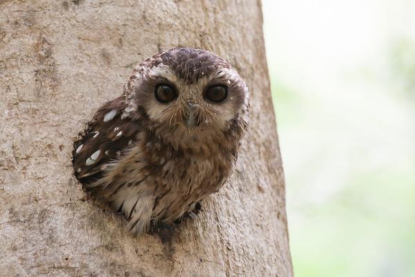 Bare-legged Screech-owl