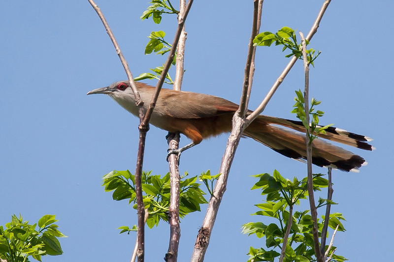 Great Lizard Cuckoo