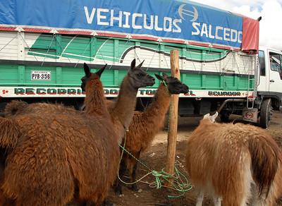 Llamas, Ecuador
